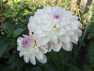 Dahlie_1 - Biologie, Zierpflanzen, Dahlie, Korbblüter, nicht winterhart, Knollen, weiß, rosa