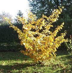Herbstlaub_Zaubernuss - Biologie, Pflanzen, Sträucher, Zaubernussgewächse, Herbst, Laub