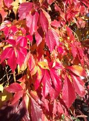 Herbstlaub_Selbstkletternde Jungfernrebe  - Biologie, Kletterpflanzen, Selbstkletternde Jungfernrebe, wilder Wein, Herbst, Laub