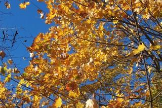 Ahornbaum im Herbst - Ahornbaum, Herbst, Blattfärbung, Sonne, Himmel, Herbstfarben, Herbstlaub, Laub, Blätter, Ahorn, bunt, Laubbaum, Blatt