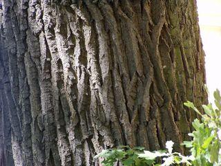 Eiche#1 - Eiche, Laubbaum, Baum, Stamm, Holz, rau, Oberfläche, Rinde, Struktur