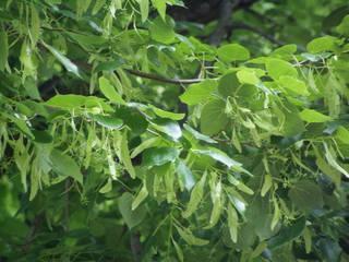 Linde - Linde, Laubbaum, Blätter, Frucht, Winterlinde