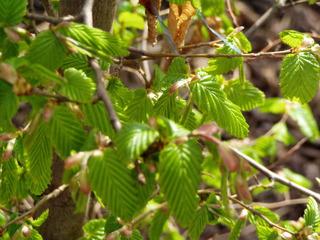 Hasel - Hasel, Haselstrauch, Blätter, Frühling, Haselnussstrauch, Gemeine Hasel, Birkengewächs, Nuss, Haselnuss, Herbst, einhäusig, Blatt