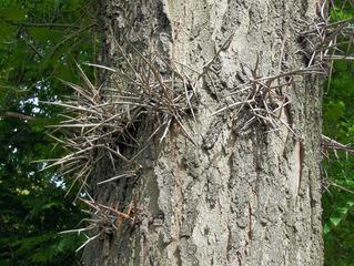 Amerikanische Gleditschie #3 - Gleditschie, Baum, Natur, Pflanze, Hülsenfrucht, Früchte, Blätter, Stamm, Dornen, spitz