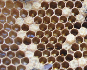 Was_ist_das#Tiere - Waben, Bienenwaben, Honig, Bienen, Rätselbild