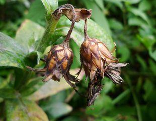 Kornblume #2 - Korbblütengewächse, Naturschutz, Heilpflanze, einjährig, Centaurea cyanus, Kornblume