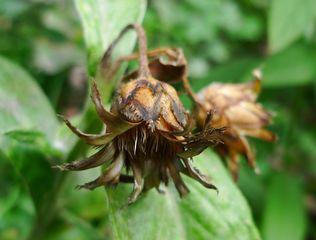 Kornblume #3 - Korbblütengewächse, Naturschutz, Heilpflanze, einjährig, Centaurea cyanus, Kornblume