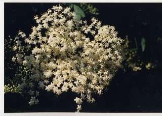 Holunderblüten - Holunder, Blüten, Baum, Frühling