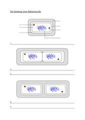 Unterrichtsentwurf Bakterienspaltung