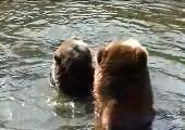 Zwei spielende Braunbären