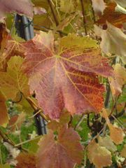 Weinblätter 2 - Wein, Blatt, Herbst, Faszination, Färbung, Weinblatt, Weinlaub, bunt, grün, gelb, rot