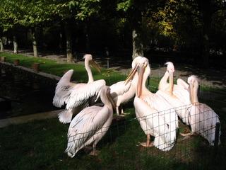 Pelikan - Pelikan, Wasservogel, Ruderfüßer, Gefiederpflege, Schnabel