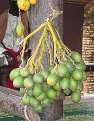 Betelnüsse - Pflanzen, Palmen, Betelpalme, Betelnuss, Genussmittel, toxisch