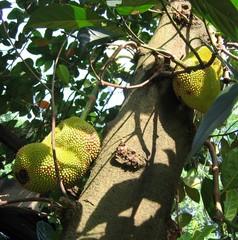 Jackfrucht 1 - Jackfrucht, Jaca, tropische Frucht, Maulbeergewächse, Artocarpus heterophyllus
