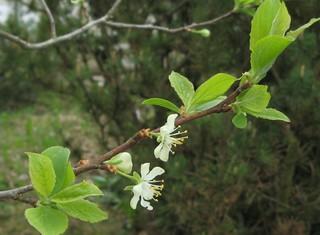 Zwetschke - Blüte - Zwetschke, Zwetschge, Blüte, blühen, Frühling, Obstart, Rosengewächs, Steinobst