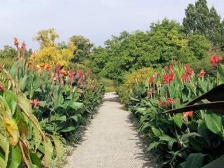 Canna #1 - Canna, Blumenrohr, Pflanze, Blume, Blüte, einkeimblättrig, Zierpflanze, Sommer