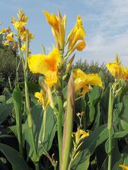 Canna #4 - Canna, Blumenrohr, Pflanze, Blume, Blüte, einkeimblättrig, Zierpflanze, Sommer, gelb
