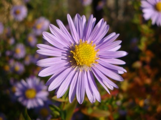 Aster - Korbblüter, Aster, Herbst, lila