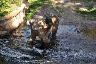 Elefantenbad # 3 - Elefant, Dickhäuter, Säugetier, Rüssel, Pflanzenfresser, grau, baden, Bad, Wasser