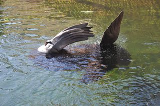 Robbe - Natur, Zoo, Meer, Seerobbe, Seelöwe, Robbe, Flosse, Flossenfüßer, Säugetier, Wasser, baden, sonnen, genießen