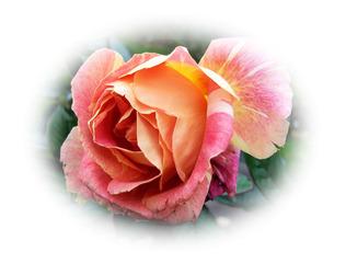 Verblühende Rose #1, Effektbild - Rose, Herbst, verblüht, Blume, Blüte, Grußkarte, Gruß, Effektbild