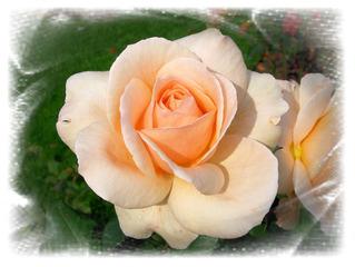 Rose, Effektbild - Rose, Blume, Blüte, Effektbild, Grußkarte, Gruß