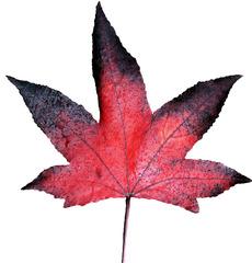 Herbstblatt - Blatt, Herbst, Herbstfarben, rot, schwarz, Färbung, Herbstlaub