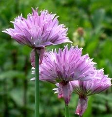 Schnittlauchblüten - Schnittlauch, Schnittlauchblüten, Graslauch, Binsenlauch, Brislauch, Jakobszwiebel, Schnittling, Lauchgewächs, Würzkraut