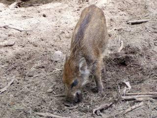 Junges Wildschwein - Wildschwein, Frischling, Schwarzwild