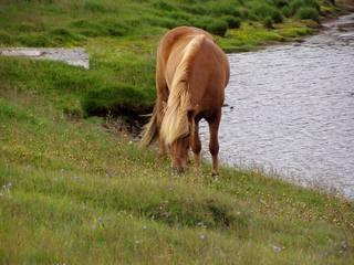 Islandpferd - Pferd, Tölt, Pass, Island, Tier, Kleinpferderasse, reiten, Nutztier, Haustier, Kleinpferd, Pferde, Islandpferde