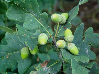 Eiche - Frucht, Blätter, Laub, Eicheln, Laubbaum