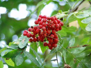 Esche - Frucht, Eberesche, Vogelbeere, Laubbaum