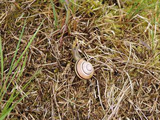 Schnecke auf Wiesengrund - Schnecke, Wiese, Gras, langsam, Gehäuse