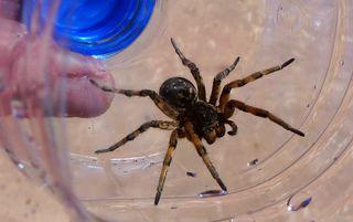 Spinne in der Türkei - Spinne, Schreibanlass, Gliederfüßer, Spinnentiere, Häutungstiere, krabbeln, acht, Beine