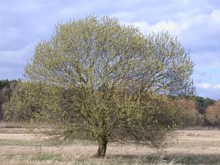 Weide - Weide, Laubbaum, Silberweide, Salix, Blatt, Ast, Auwald, zweihäusig, männlich, weiblich, Kopfweide, Heilpflanze, Kätzchen, Weidenkätzchen, Palmkätzchen