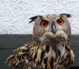 Uhu #1 - Uhu, Eule, Vogel, Wildtiere in Europa, Greifvogel, Raubvogel, nachtaktiv