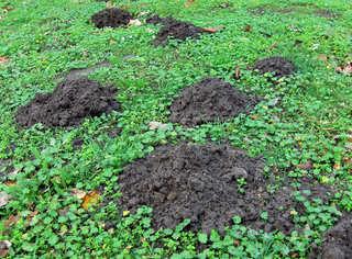Maulwurfshaufen im Herbst #1 - Maulwurf, Maulwurfshaufen, Tier, Wiese, Maulwurfshügel, Scherhaufen, Erdaushub