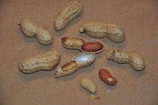 Erdnüsse - Erdnuss, Aschantinuss, Arachisnuss, Kamerunnuss, Hülsenfrucht, Schmetterlingsblütler
