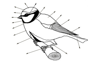 Körperbau eines Singvogels - Vogel, Körperbau, Meise, Körperteile, beschriften