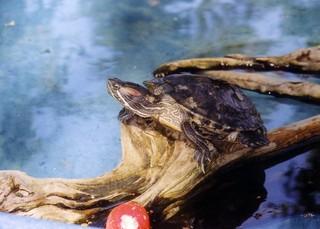 Wasserschildkröte - Reptilien, Schildkröte, Wasserschildkröte