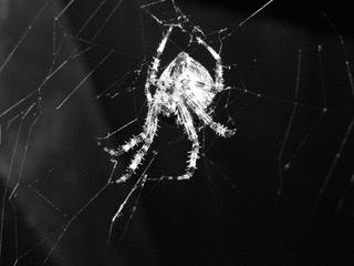 Kreuzspinne - Spinnentiere, Spinne, Radnetzspinnen, Kreuzspinne, Beutefang, Netz, Spinnennetz