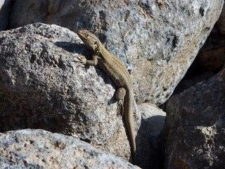 Eidechse #1 - Eidechse, Reptil, Schuppenkriechtier, Tarnung