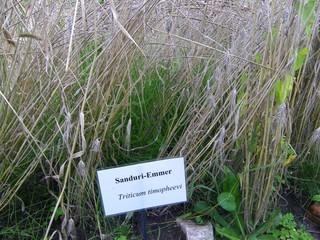 Emmer - Emmer, Zweikorn, Weizen, Getreide, Jungsteinzeit