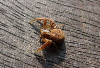 Spinne - Insekt, Spinne, Springspinne, Mauer-Hüpfspinne, salticus cingulatus