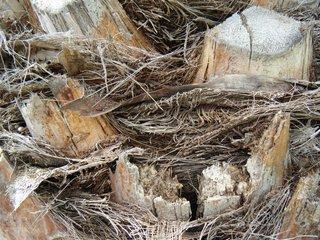 Reste einer Palme - Totholz, Meditation, Palme, Veränderung, verrotten, Kreislauf, Stoffkreislauf, Zersetzer, vertrocknet, Ökologie, Biomasse