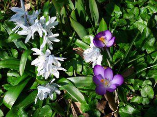 Frühblüher - Kaukasischer Blaustern, Krokus