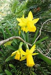 Mini-Narzissen - Narzissen, Frühling, Frühlingsboten, Garten, gelb
