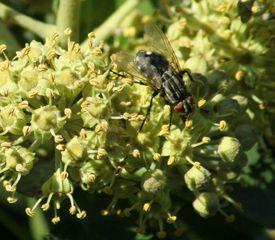 Efeublüten mit Besucher - Efeu, Hedera helix, Kletterpflanze, Blüte, Fliege, Stubenfliege