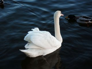 Gespräch unter Vögeln - Schwan, Stockente, Vögel, schwimmen, Tier, Tiere, Wasser