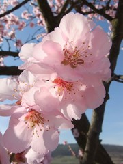 Mandelblüte #3 - Blüte, Mandelblüte, Pflanze, Frühling, Mandel, Baum, Blüten, Mandel, Mandelbaum, rosa